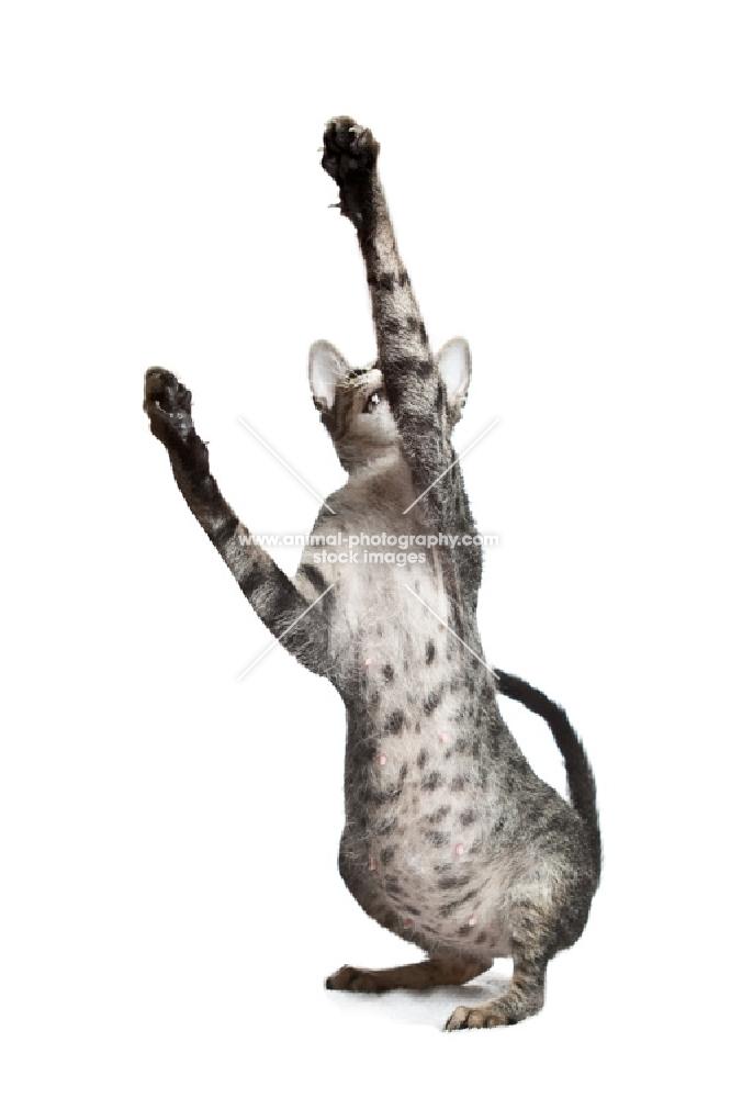 Pregnant peterbald cat playing