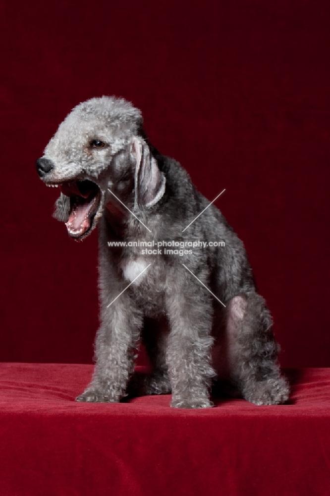 Bedlington Terrier yawning