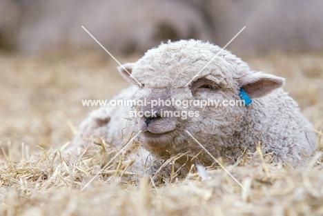 South Down lamb