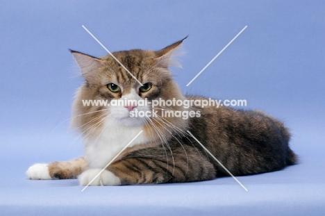 Brown Mackerel Tabby & White Norwegian Forest cat