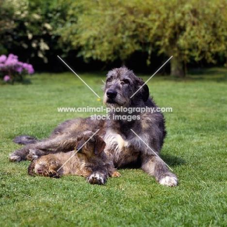 champion irish wolfhound and champion miniature wire haired dachshund