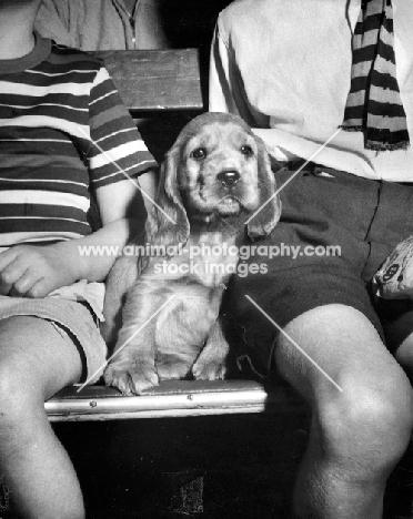 Cocker Spaniel puppy sitting in between children