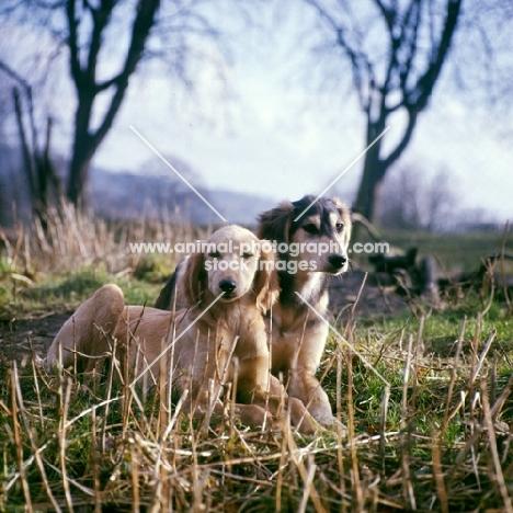 saluki puppies from windswift kennels in stubble field