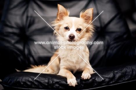 Chihuahua sitting on black chair