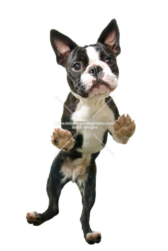 Boston Terrier standing on hind legs, shot from below