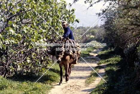 working skyros pony with man riding on skyros island, greece