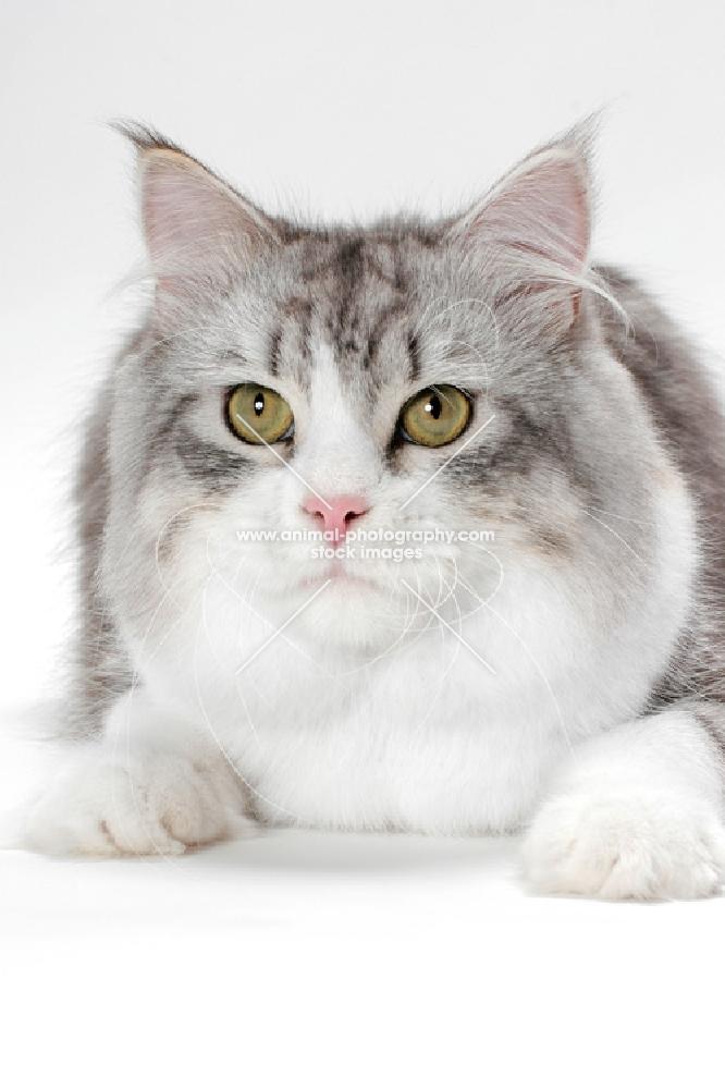Silver mackerel tabby cat
