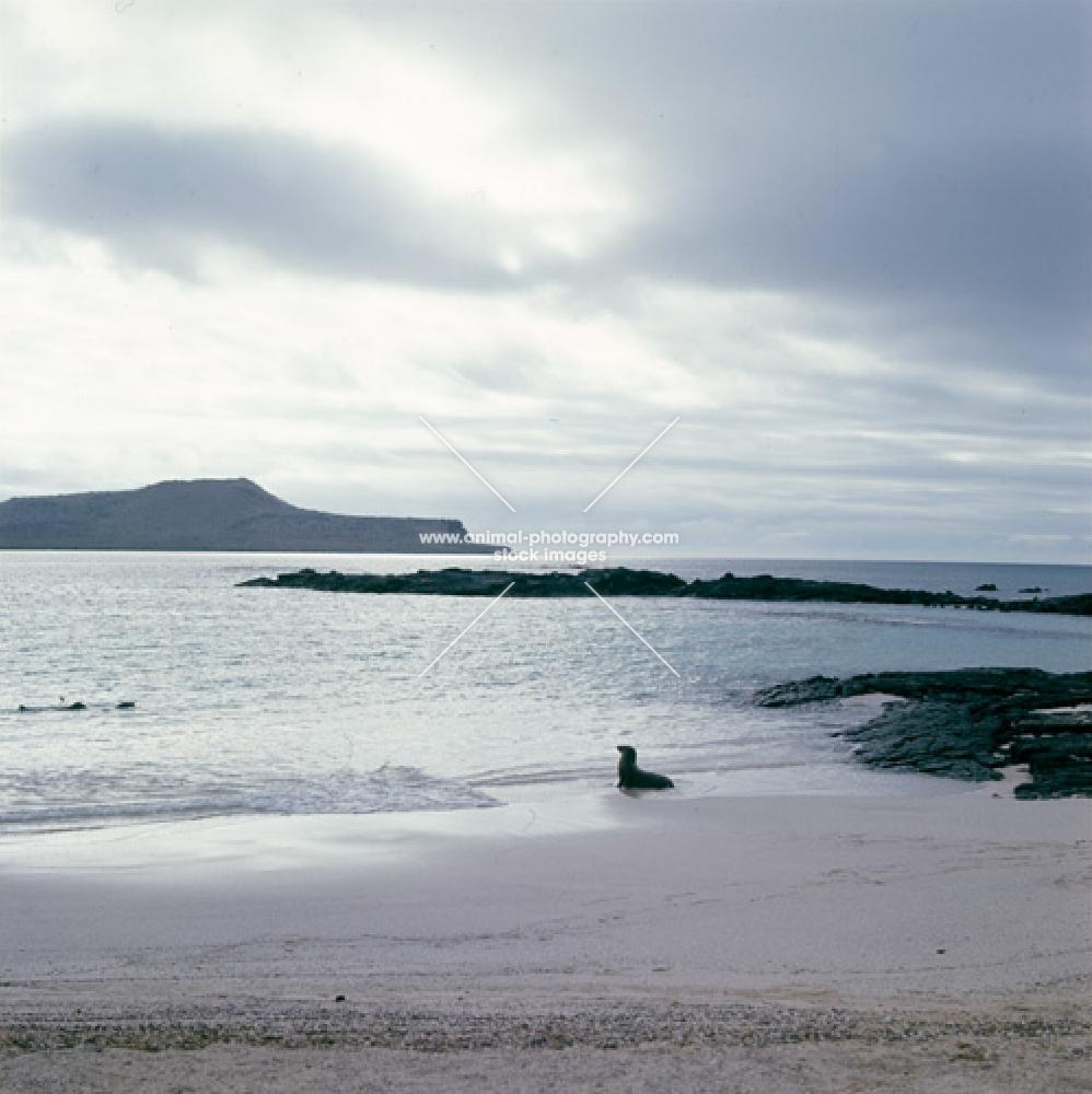 young galapagos sea lion alone on beach at seal island, loberia island, galapagos islands