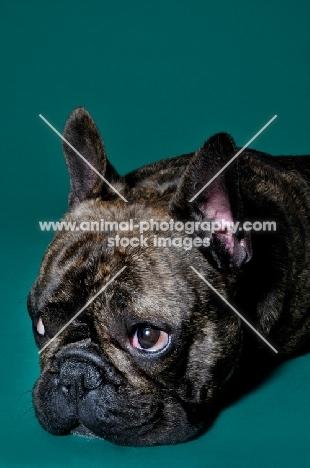 French Bulldog lying on green background looking sad