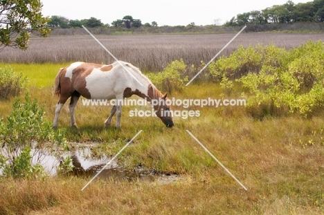 wild Assateague pony grazing