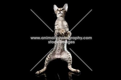 kitten on two feet, dancing
