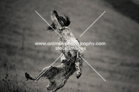 English Springer Spaniel jumping, all legs in air