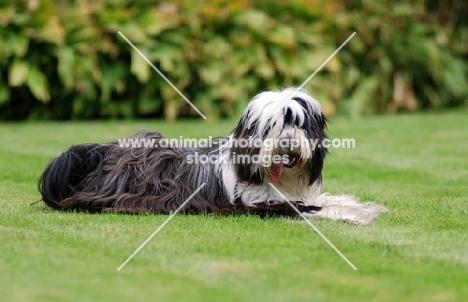 Tibetan Terrier lying down