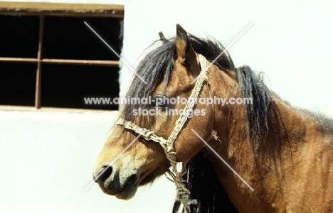 skyros stallion