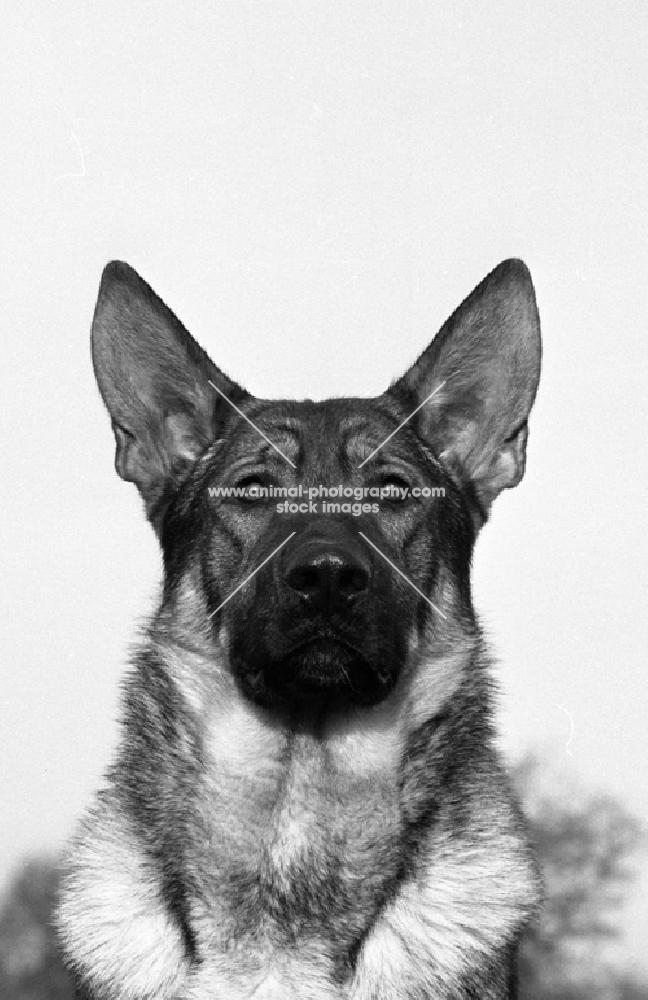 german shepherd dog looking straight at camera