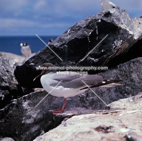 swallow tailed gull on hood island, galapagos islands
