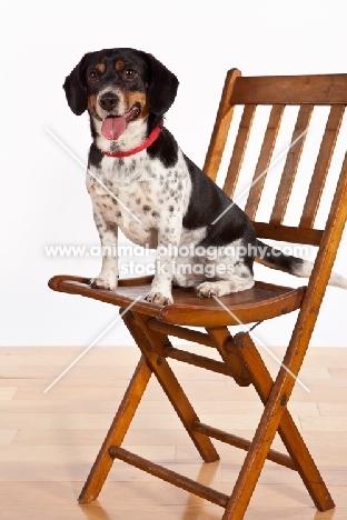 Dachshund x Beagle mix (also known as Doxle, Doxie, Beaschund) on chair