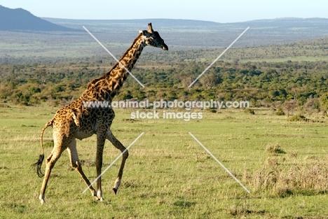 giraffe in masai mara nature reserve