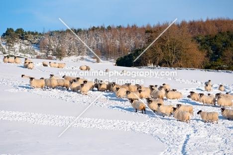 Scottish Blackface ewes