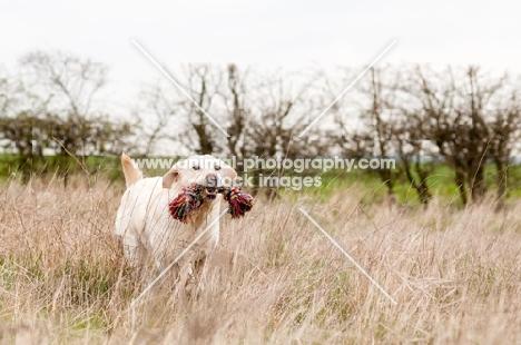 Labrador retrieving a rope toy in long grass