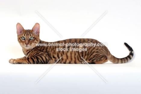 Toyger cat lying down, Brown Mackerel Tabby colour
