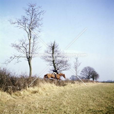 horse and rider jumping hedge at drag hunt