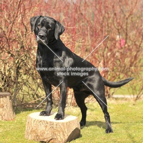 Labrador Retriever full body standing on log