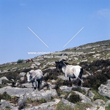 ponies on Dartmoor on rocks