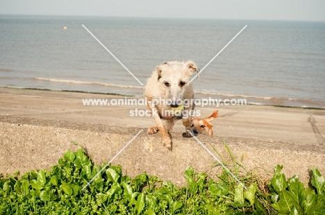 Bedlington x Whippet on beach