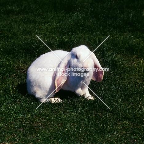 albino English Lop eared rabbit on grass