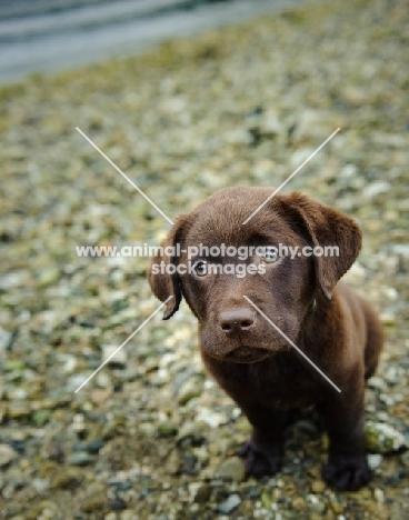Chocolate Labrador Retriever puppy looking up