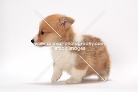 Welsh Corgi Pembroke puppy on white background