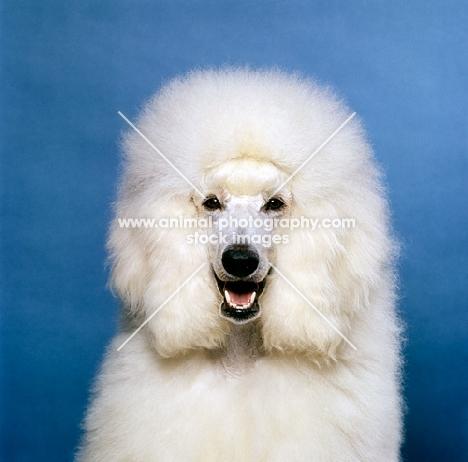 happy standard poodle head shot