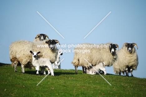 Scottish Blackface ewe and Scotch Mule lambs