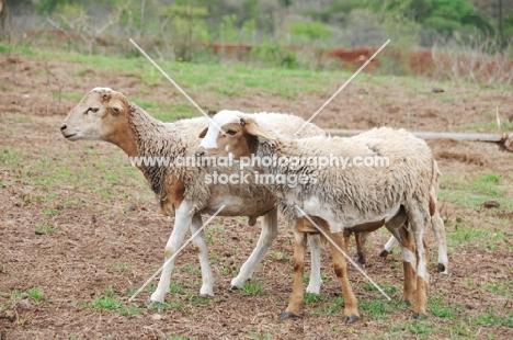 two Nguni sheep
