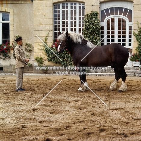 full body shot of Breton standing with handler