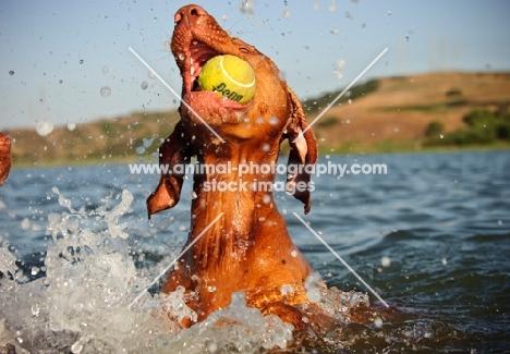 Hungarian Vizsla playing with tennis ball