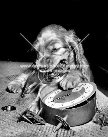Cocker Spaniel puppy breaking clock