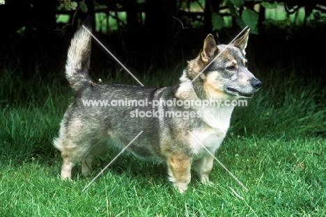 undocked swedish vallhund, misty