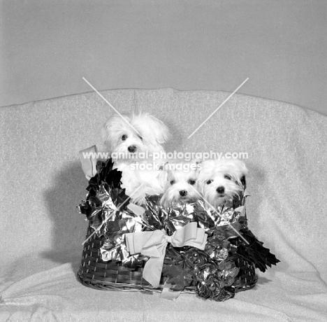 three maltese puppies in a hamper