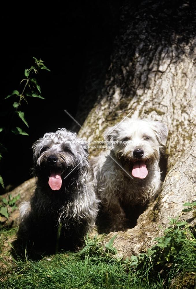 two glen of imaal terriers beside tree looking at camera