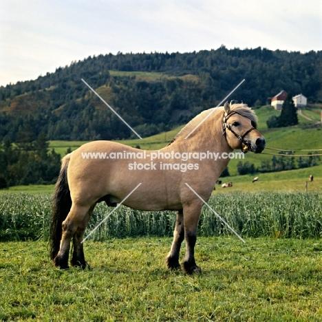 Maihelten 1692, Fjord Pony stallion, in Norway