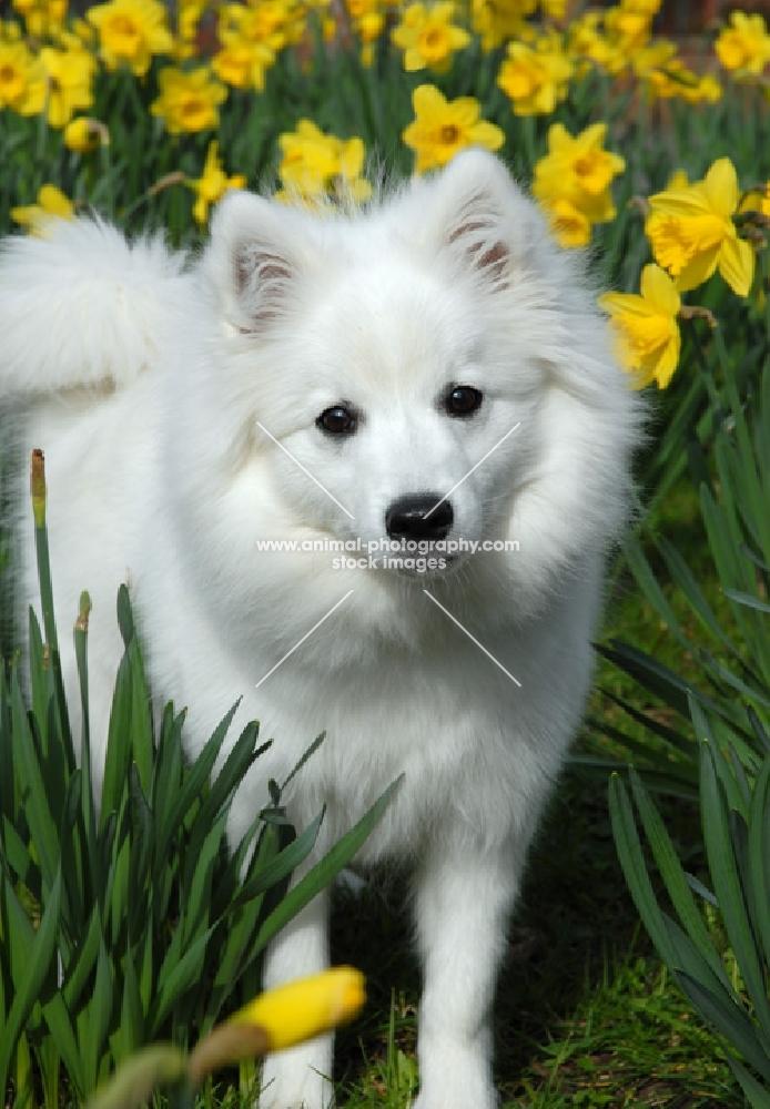 japanese spitz in daffodils, foxy
