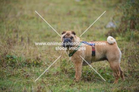 shar pei standing in a field