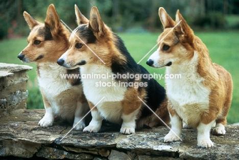 three pembroke corgis sitting on a wall