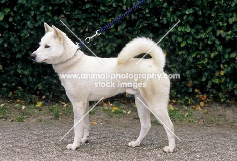 kishu japanese hunting dog
