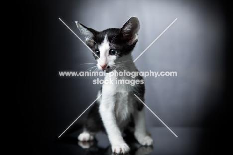 Peterbald kitten sitting and looking towards camera