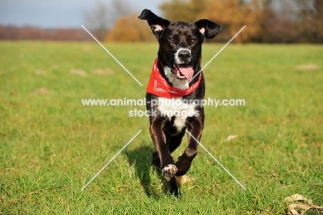 Mongrel running in field, wearing scarf
