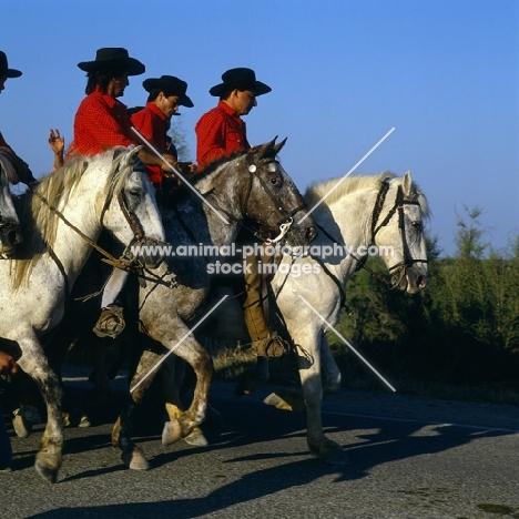 bandido, camargue ponies and gardiens escorting bull to bullring for games
