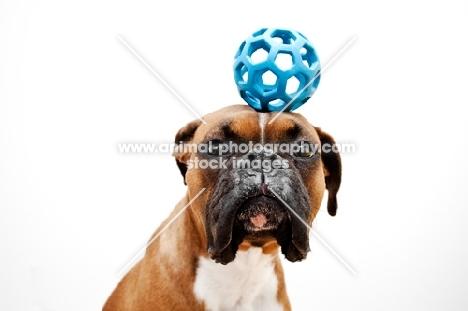 boxer balancing ball on head